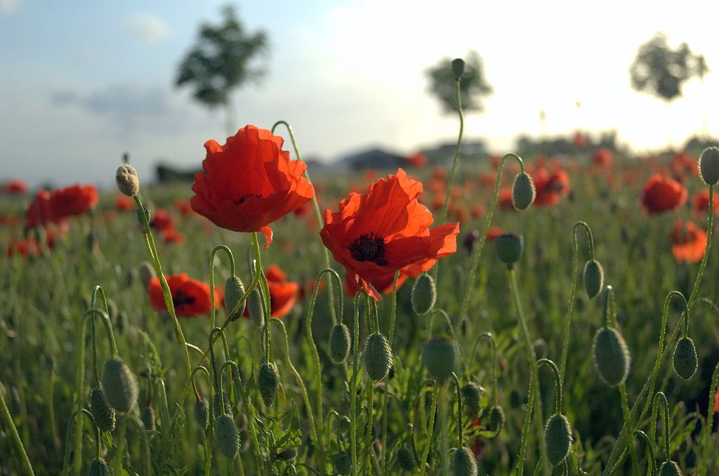 Flanders poppies