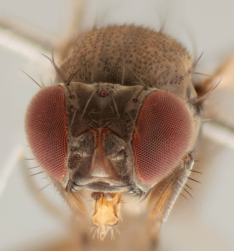 Drosophila subobscura. Photo by Malcolm Storey, www.bioimages.org.uk.