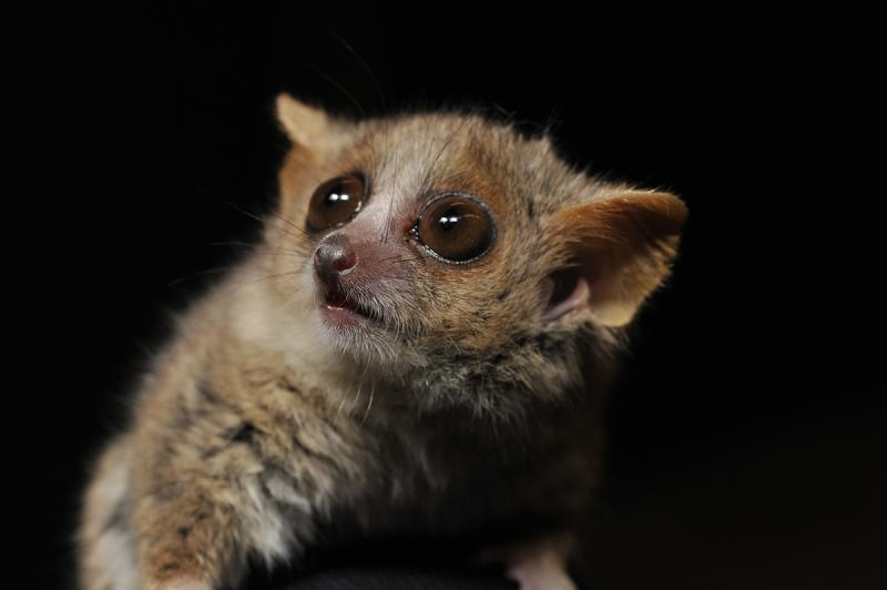The teacup-sized mouse lemurs are the world's smallest and fastest-reproducing primates. As a result, their collective DNA reflects changes in their surroundings at a faster rate than many other mammals. A new study uses mouse lemur genomes to reconstruct Madagascar's forests before human arrival. Photo by David Haring, Duke Lemur Center.