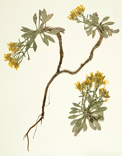 A preserved sample of Physaria, a genus of flowering plants in the mustard family. Photo courtesy of Duke Herbarium.