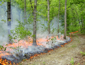 A controlled burn remodels the forest understory