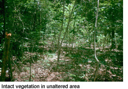 Intact vegetation in unaltered area