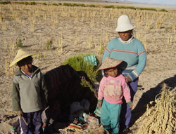 A Bolivian women and her children harvest quinoa, a dryland crop that is attracting attention in developed countries