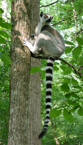 A female ring-tailed lemur at the Duke Lemur Center rests, and leaves a bit of scent.