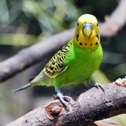 DNA Sequenced for Parrots' Ability to Parrot | Duke Today