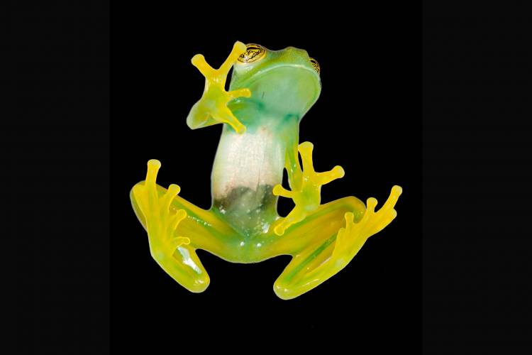 The glass frog Espadarana has translucent skin and green insides, thanks to an evolutionary adaptation that turned a toxic byproduct of blood breakdown into a lovely green pigment. Even its bones are green.(Santiago R. Ron)