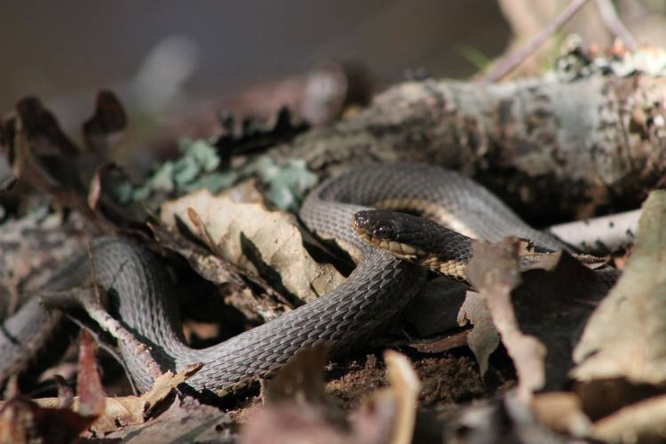 Queen snake in Duke Forest. Photo by Susan Pratt.