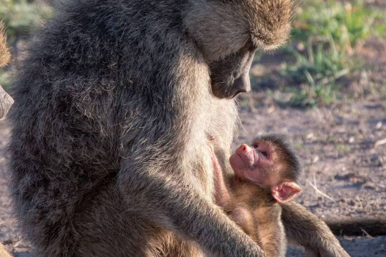 Young primates born in the last four years of a female's life have a greater risk of dying young. If they survive their mother's death, their own children are also likely to suffer a premature death. (Fernando Campos)