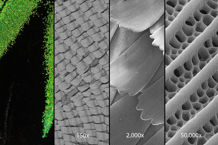 A close-up look at the wings of the Rajah Brooke's birdwing butterfly with a scanning electron microscope reveals tiny structures in their wing scales that trap light so that virtually none escapes. Credit: Alex Davis, Duke University.