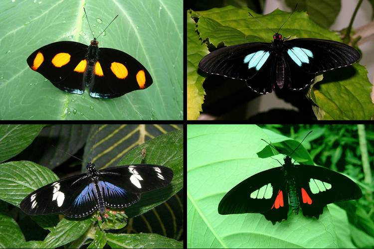 The black patches on the wings of some butterflies are 10 to 100 times darker than everyday black objects. Clockwise from top left: Catonephele numilia, Parides sesostris, P. iphidamas, Heliconius doris. By Richard Stickney, Museum of Life and Science