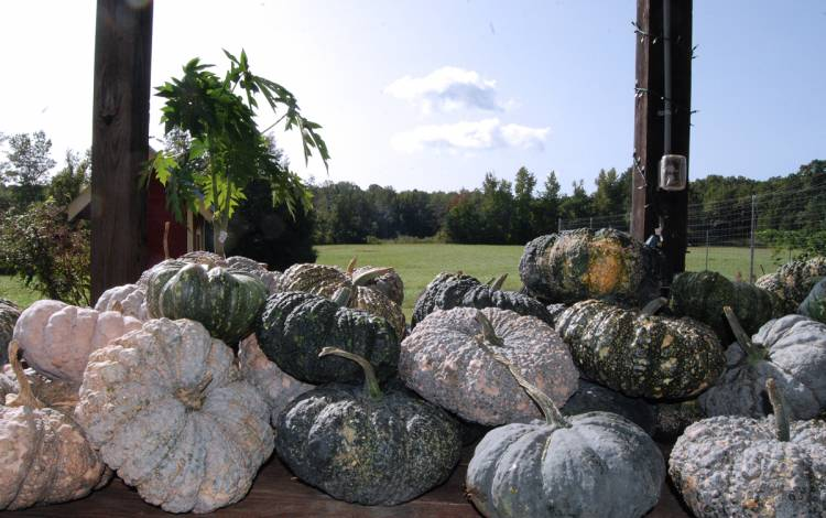 Recently, these Thai Kang Kob pumpkins were harvested and donated to Root Causes. Photo by Stephen Schramm.