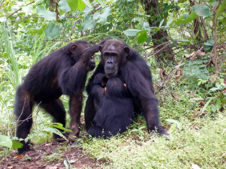 Gaia the chimpanzee grooms with her mom Gremlin at Gombe National Park. A study finds that female chimps with high-ranking moms are less likely to leave home, instead reproducing in the group where they grew up. (Photo by Emily Wroblewski)