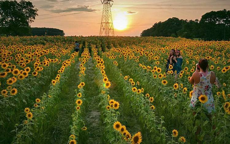 Sunflowers on a summer evening.