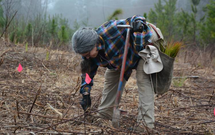Teresa McCauley clears twigs from a marked spot where she'll plant a Longleaf Pine seedling