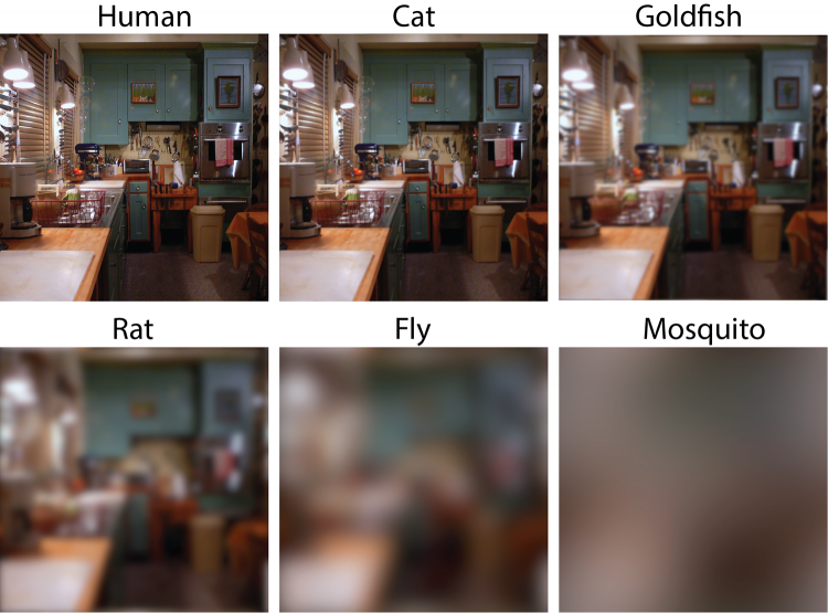 A household scene as viewed by various pets and pests. Human eyesight is roughly seven times sharper than a cat, 40 to 60 times sharper than a rat or a goldfish, and hundreds of times sharper than a fly or a mosquito. Image courtesy of Eleanor Caves