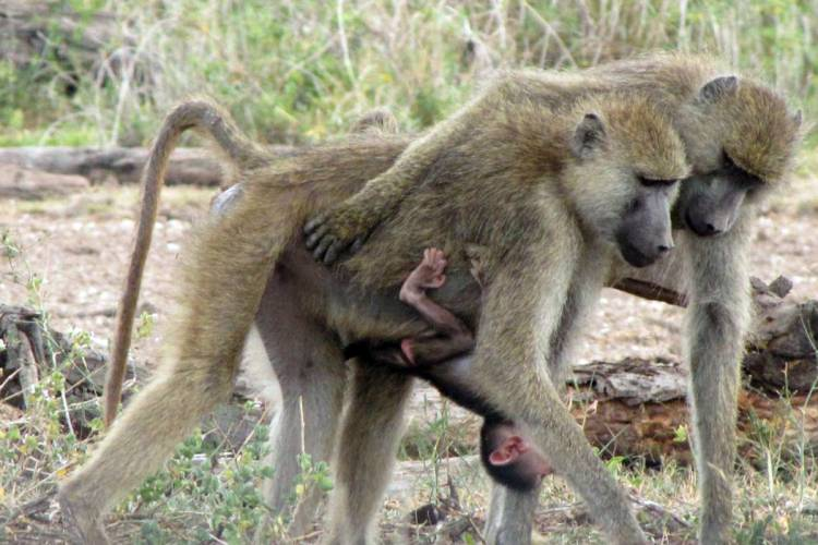 Born to rule and rarely challenged, alpha female baboons have lower levels of stress hormones than their dominant male counterparts or other females. (Photo by Matthew Zipple, Duke)