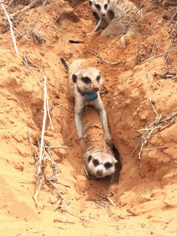 Wild meerkats in the Kalahari Desert of southern Africa. Photo by Jenny Tung.