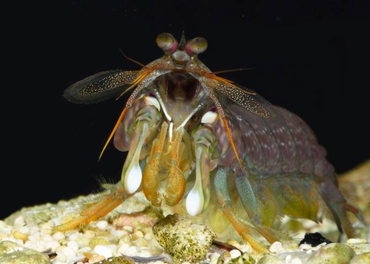 A species of mantis shrimp called Neogonodactylus bredini lives in shallow water in the southern Caribbean, where it fights to hold onto tiny refuges on the ocean floor. Photo by Roy Caldwell, University of California, Berkeley