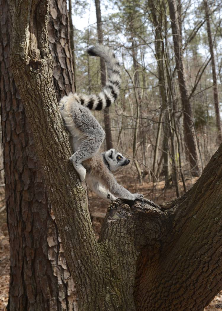 Randy the ring-tailed lemur smears his scent on a tree at the Duke Lemur Center. Photo by David Haring.
