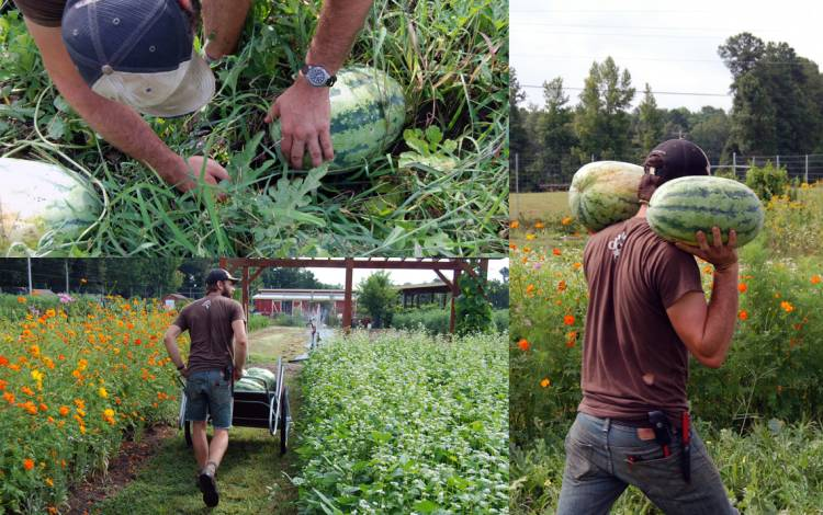 In August, Lucas Howerter and the rest of the staff and volunteers harvest the watermelons.