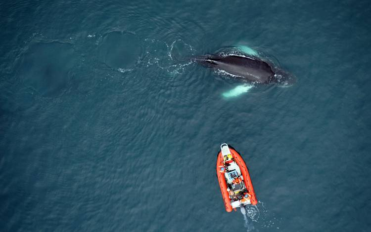 Researchers control a drone from an inflatable zodiac boat to capture images of humpback whales in Antarctica. Photo taken during permitted research and courtesy of Duke Marine Robotics & Remote Sensing Lab.