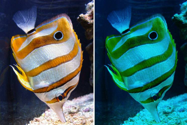 Warming Seas Might Also Look Less Colorful to Some Fish. Here's Why it Matters.