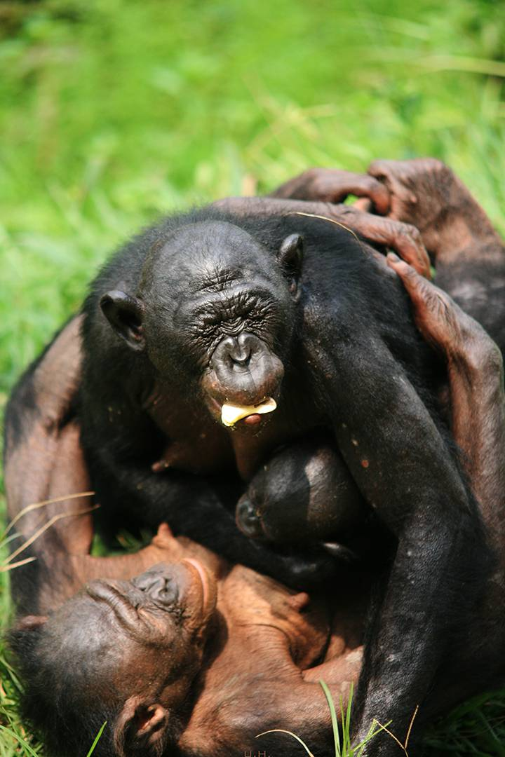 A female bonobo embraces a newcomer on her first day in a new group. Photo courtesy of Lola ya Bonobo Sanctuary.