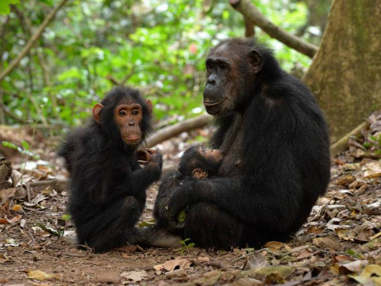 By hanging out with her sons, a mother chimpanzee boosts their odds of survival later in life. (Photo by Joel Bray, Arizona State University)