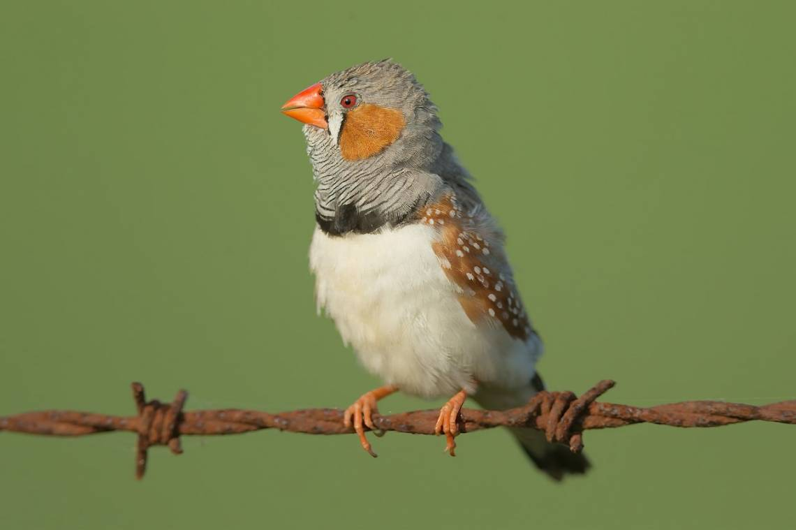 "Show a zebra finch a sunset-colored object, and either it's red or it's orange, rather than somewhere in the middle. But when it comes to blues and greens, their brains are less prone to ""either/or"" thinking. Photo by JJ Harrison."
