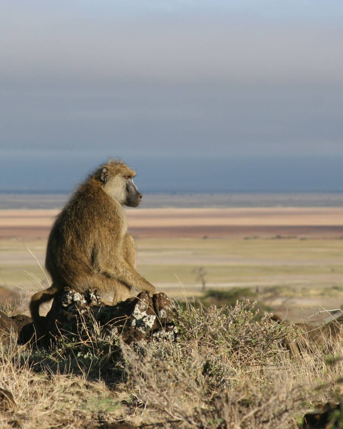 Some baboon males are prone to commit domestic violence when forced to move into a group with few fertile females, researchers find. Photo by Catherine Markham, Stony Brook University.