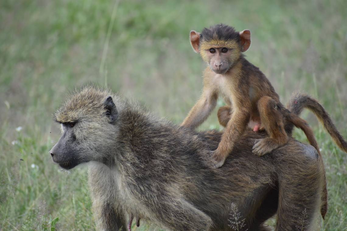 Whether this infant baboon survives to adulthood depends, in part, on events that happened to his mother long before his birth. A study of wild baboons finds that a mom's childhood trauma can be passed to the next generation. Chelsea Weibel, Notre Dame.