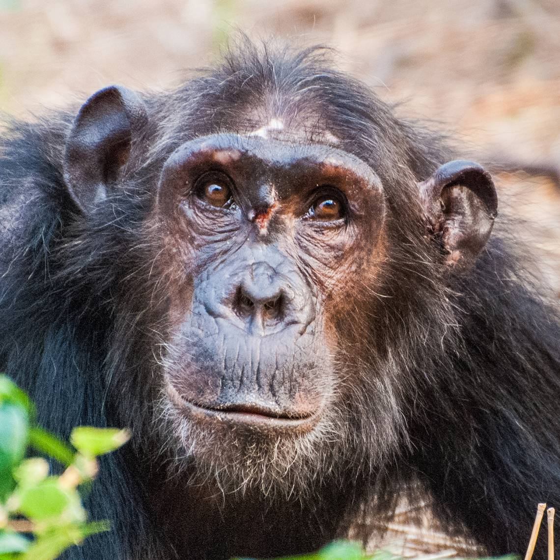 A low-ranking young female chimpanzee was wounded in a fight when she attempted to enter the female social hierarchy. Credit: Ian C. Gilby