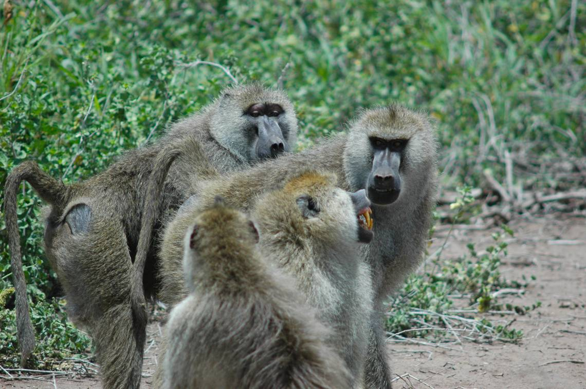Teeth-baring, glaring confrontations are a normal part of being the boss male baboon. A new study shows that the guys at the top will age faster as a result of constantly having to defend their higher status. (Courtney L. Fitzpatrick)