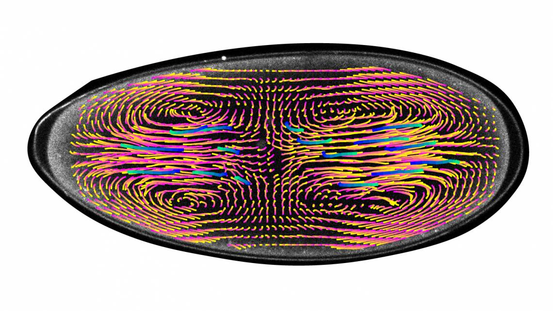 Computer-generated vectors show the motion and speed of cell nuclei within a developing fruitfly embryo. These swirling currents keep nuclei spread out evenly and in sync to ensure they undergo the same number of divisions.(DiTalia Lab)