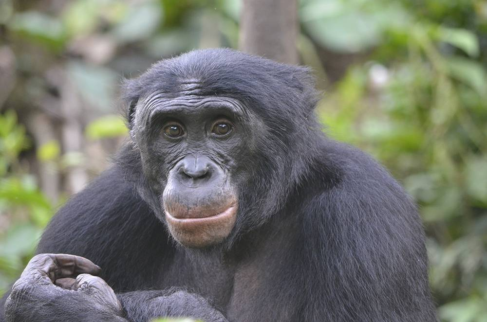Fizi, an adult male bonobo at Lola ya Bonobo Sanctuary in the Democratic Republic of the Congo. A new study of these African apes hints at how human cooperation came to be. Photo by Christopher Krupenye, Duke University.