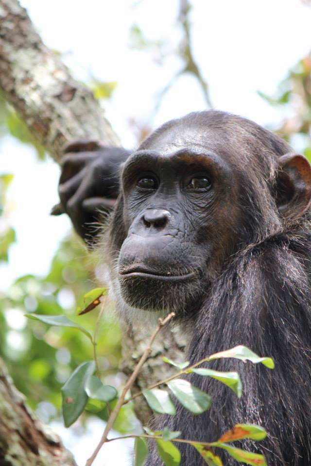 Flirt, a young female chimpanzee, left her brothers and other relatives behind when she reached puberty to reproduce in a new group. A study finds that chimps can tell genetically similar mates from more distant ones, even among unfamiliar partners.