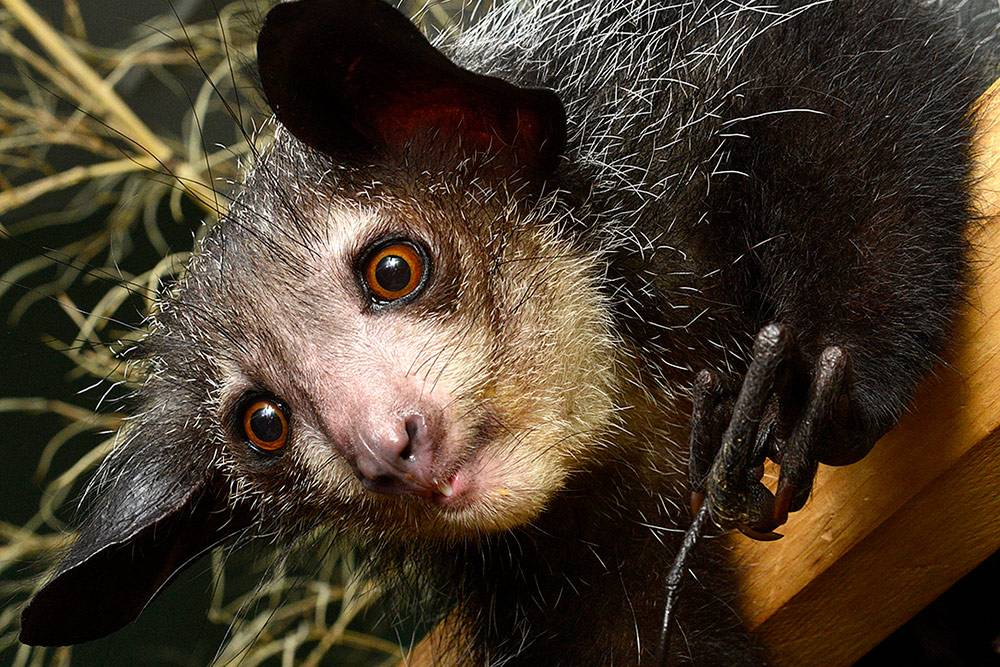 Grendel, a 6-1/2-year-old aye-aye at the Duke Lemur Center, is slowly recovering from a near-death experience on Oct. 25 that has been attributed to a natural toxin found in avocados. Photo by David Haring