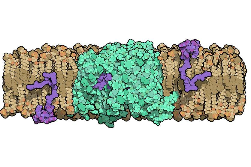 Researchers at Duke University solved the structure of an enzyme that is crucial for helping bacteria build their cell walls. The molecule, called MurJ (shown in green), must flip cell wall precursors (purple) across the bacteria's cell membrane before th