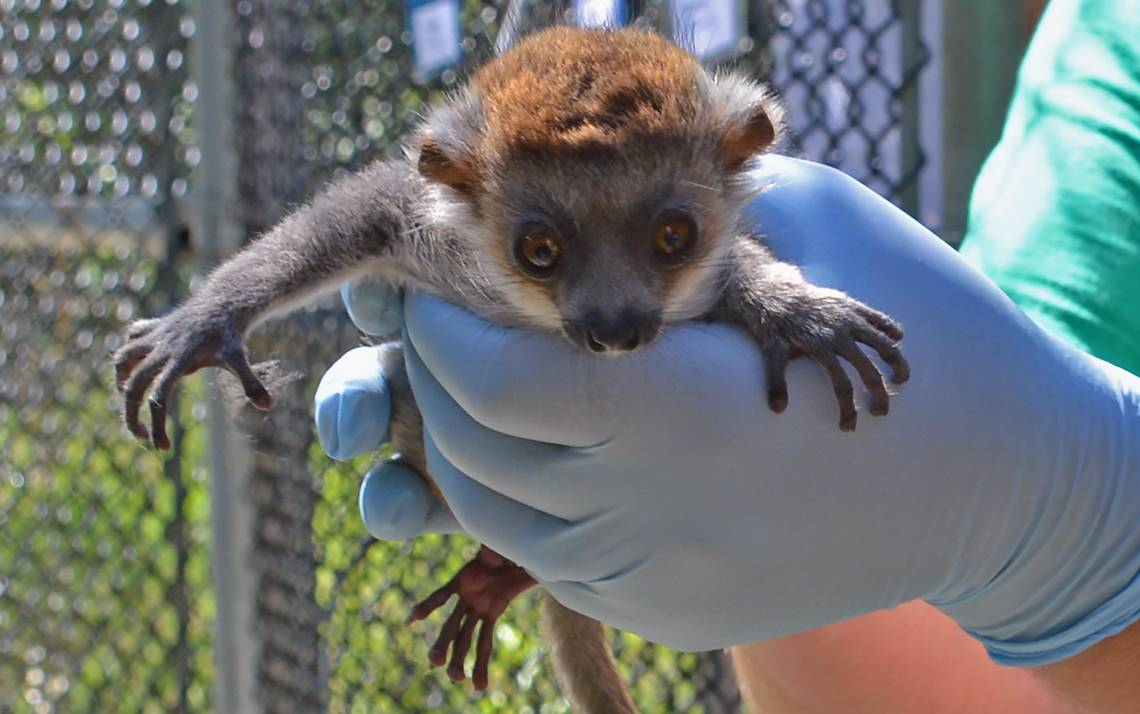 Nacho, a 29-day old mongoose lemur at Duke Lemur Center, get ready to be weighed by the staff.