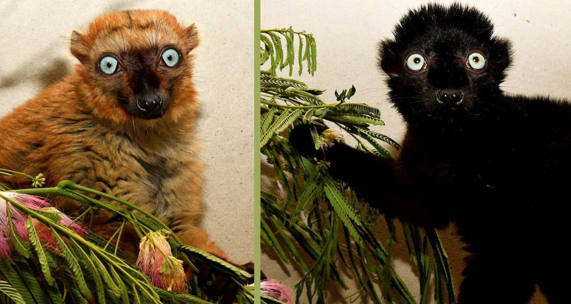 Mangamaso and Velona were born at Parc Ivoloina, a nonprofit nature center in eastern Madagascar. The Duke Lemur Center and Parc Ivoloina, managed by the Madagascar Fauna and Flora Group, have been partners since 1987. Photo by David Haring.