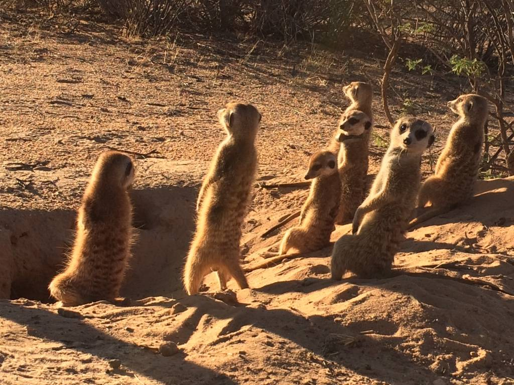 Meerkats at the Kuruman River Reserve in Northern Cape, South Africa. Photo by Jenny Tung.
