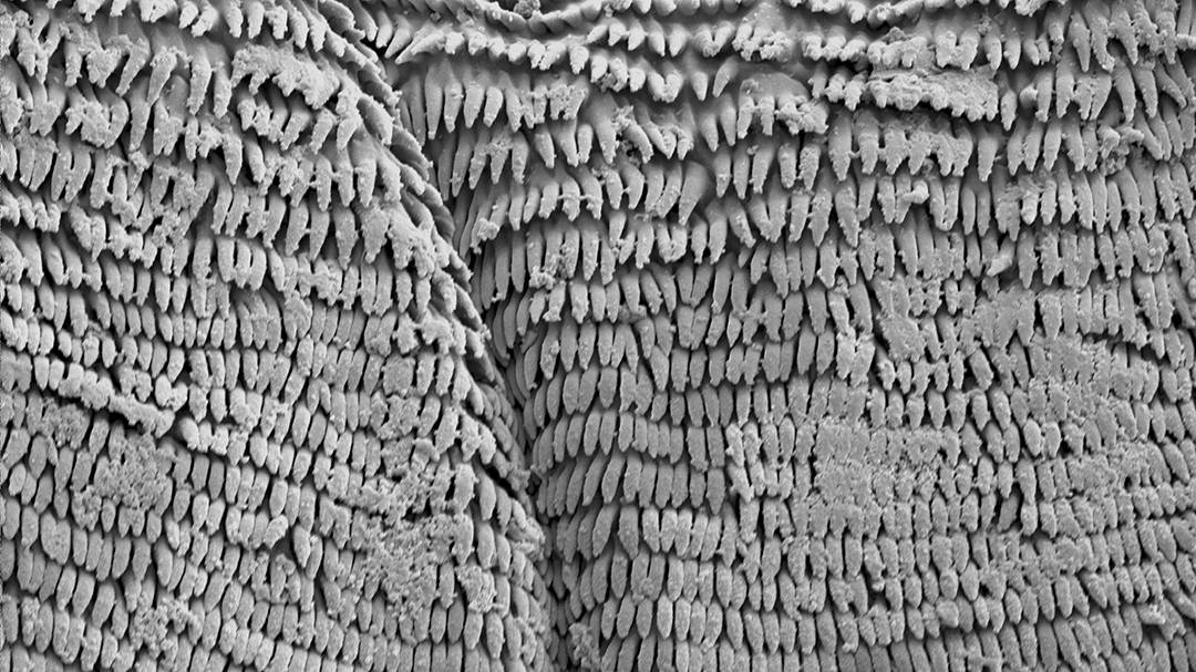 A scanning electron microscope image shows the 1-micron projections on the adhesive patches of a leaping gall midge larva. Researchers aren't sure yet what makes them so sticky. (Duke SMIF/Grace Farley)