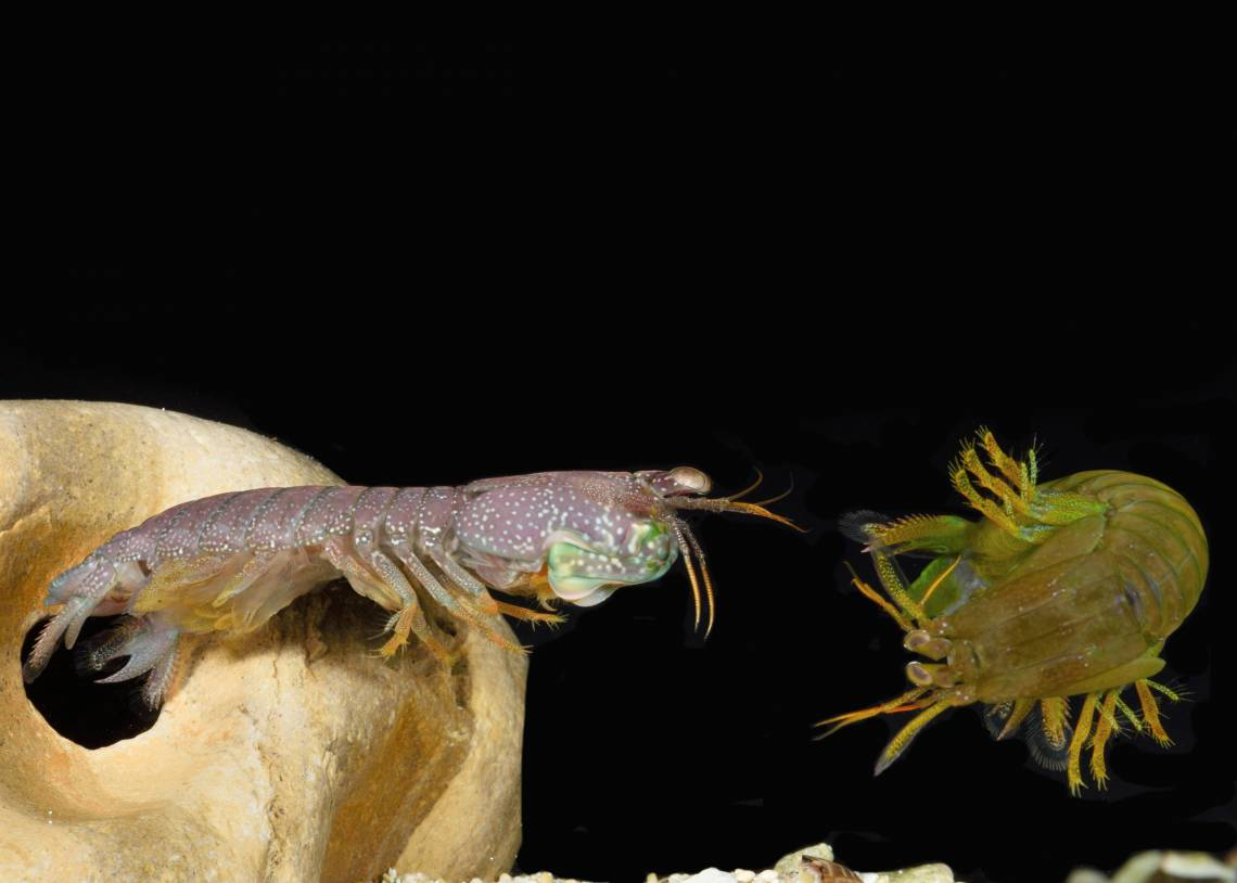 In a mantis shrimp sparring match, opponents compete to capture or hold onto shelter. Photo by Roy Caldwell, University of California, Berkeley