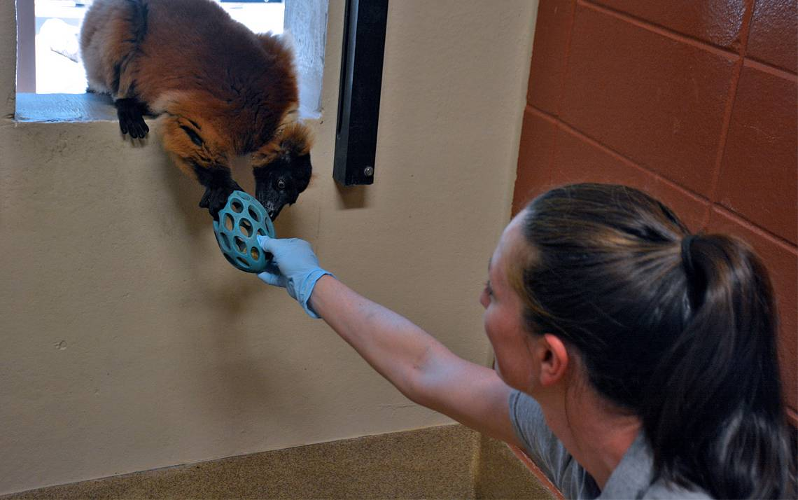 Kate Byrnes passes a rubber ball to Minias, a red-ruffed lemur. Photo by Jonathan Black.