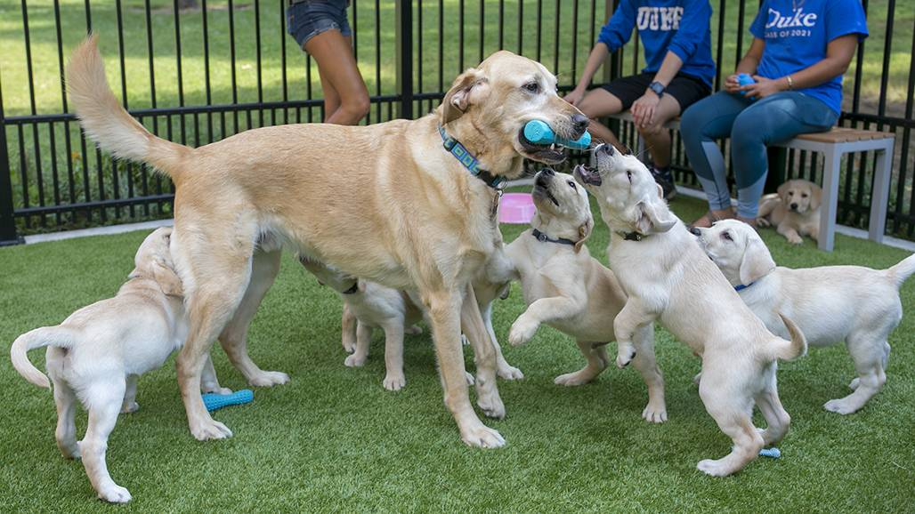 Congo romps with six of the seven puppies currently enrolled in Duke's Puppy Kindergarten. Researchers and volunteers at Duke will be trying to give the puppies a head start to  help more of them become Canine Companions for Independence assistance dogs.