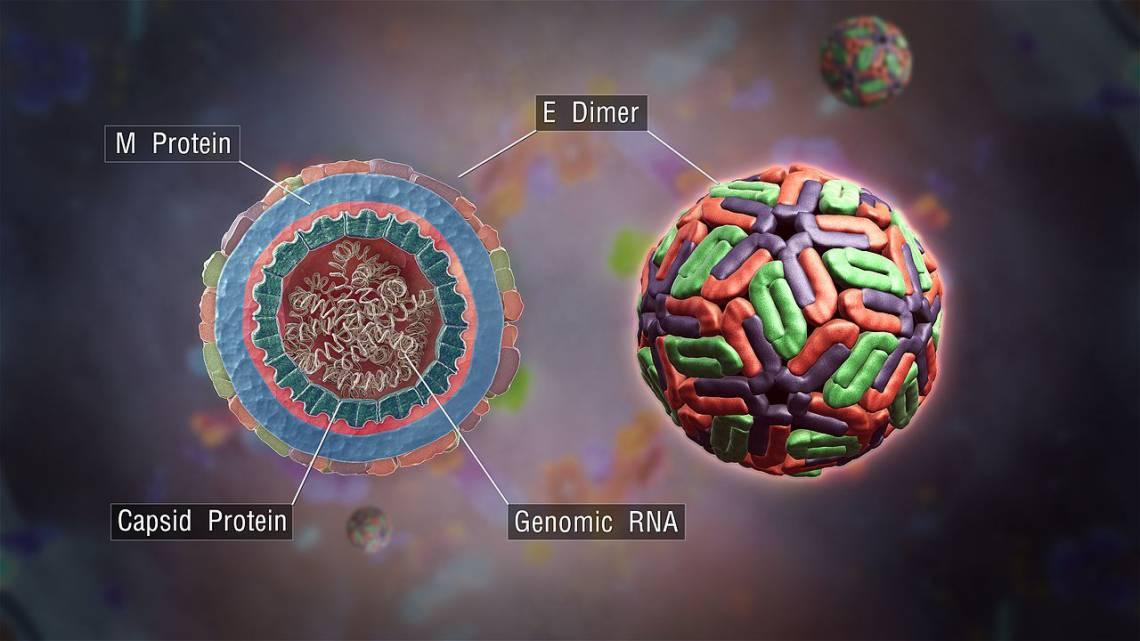 A schematic illustration of the dengue virus. (Girish Khera, Scientific Animations)