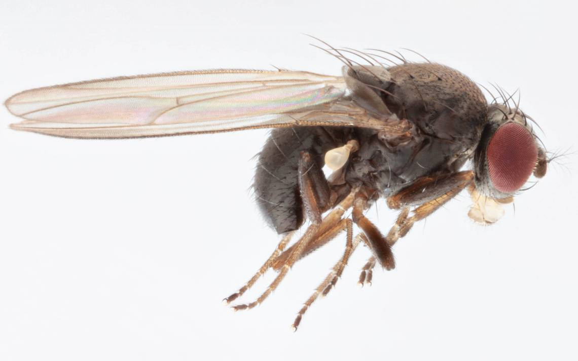 First spotted in the U.S. in the early 1980s, a sexually confused fruit fly called Drosophila subobscura may have contributed to a collapse in native fruit flies through misdirected mating attempts. Photo by Malcolm Storey, www.bioimages.org.uk.