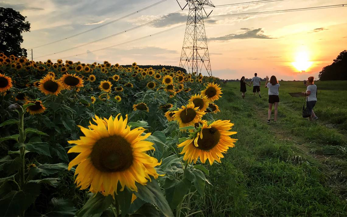 Audra Ang captured this image of sunflowers in Raleigh.
