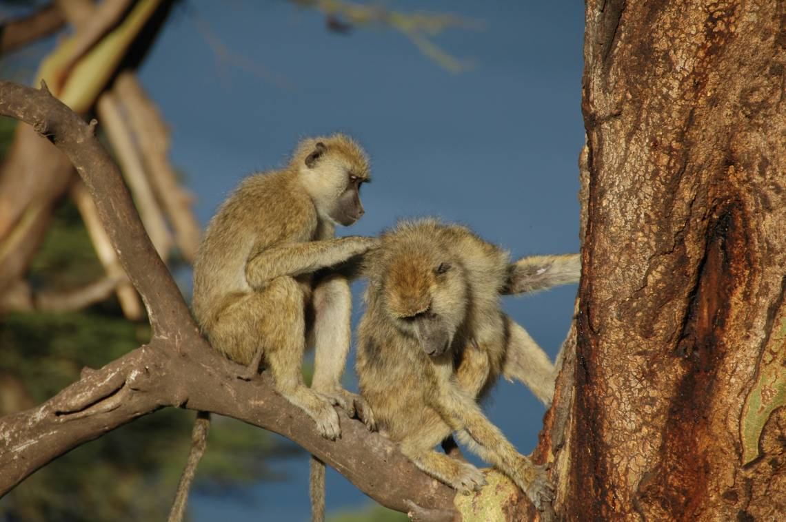 Grooming is a baboon's way of bonding. A 35-year study of more than 540 wild baboons in Kenya links strong social bonds to better chances of survival. Photo by Susan Alberts, Duke University.