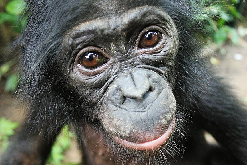 Close primate cousins with whom we share 99 percent of our DNA, bonobos will help strangers even when there is no immediate payback, and without having to be asked first. Photo courtesy of Lola ya Bonobo Sanctuary.